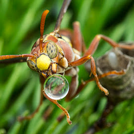 Wasp Blowing Waterball Is Back 150227 by Carrot Lim - Animals Insects & Spiders