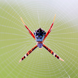 Spider by Sayeeram Rengaraj - Animals Insects & Spiders