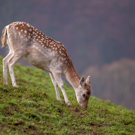Bambi by Alexander Voda - Animals Other Mammals ( nature, wildlife, mammal, photography, animal )