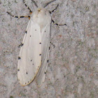 Salt Marsh Moth or Acrea Moth