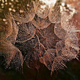 Sunlight In The Bosom by Marija Jilek - Nature Up Close Other plants ( nature, bosom, goat-beard, plants, seeds, sun )