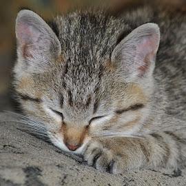 Nap Time by Karen Hardman - Animals - Cats Kittens