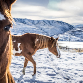 Two Steps Back by Austin Boyce - Animals Horses ( equine, winter, snow, horse, christmas, close up, close )