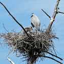 Great Blue Heron (on nest with young)