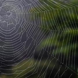 Cobweb Study 05 by Robert Willson - Nature Up Close Webs ( willson, cobweb, nc, bob willson, web, morning dew, places, highlands, usa, spider web )