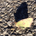 Cloudless Sulfur Butterfly