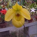 Ladies Slipper Orchid