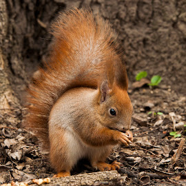 Squirrel by Ivány Richárd - Animals Other Mammals