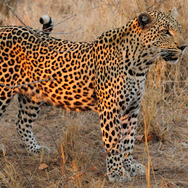 Prowling Leopard by Jim Davis - Animals Lions, Tigers & Big Cats