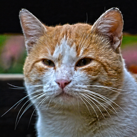 Š'a ima? by Mario Denić - Animals - Cats Portraits ( cool, orange, cat, yellow, portrait )