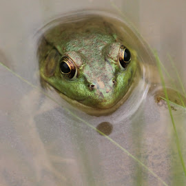 Frog by Tina Marie - Animals Amphibians ( frog )