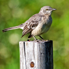 Bird on a post by Sandy Scott - Animals Birds ( bird,  )