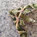 Oleander Sphinx