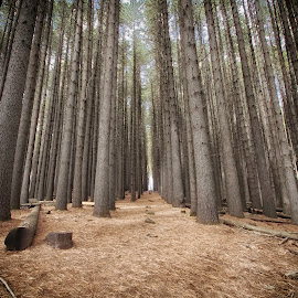 PINES by Gary Parnell - Landscapes Forests ( sugar pine forest, tumut )