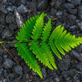 Fern by Calvin Morgan - Nature Up Close Other plants ( fern, ash, nature, coal, campfire, closeup )