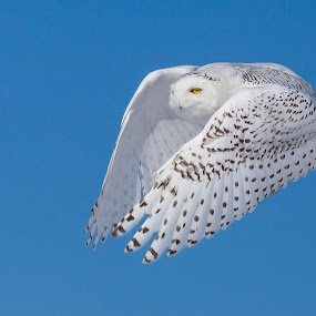 Snowy Owl by Tom Samuelson - Animals Birds