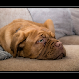 Lazy Pup by Peter Wyatt - Animals - Dogs Puppies ( bordeaux, puppy, lazy, baby, cute, dog, portrait )