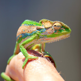 Cape Dwarf Cameleon by Maresa Sinclair - Animals Reptiles ( cameleon cape dwarf orange green )