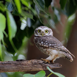 Spotted Owlet by Durga Lal  Verma - Animals Birds