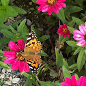 Painted Lady or Distelfalter