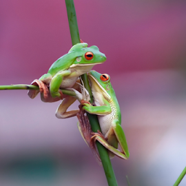 Playing TogetheR by Robert Cinega - Animals Amphibians ( frog, amphibians, animal )