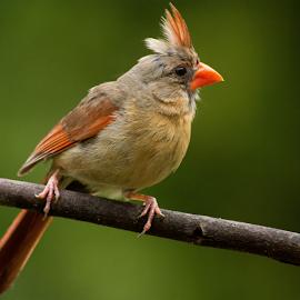 Female Sophistication by Janet Lyle - Animals Birds ( cardinal, wildlife, birds,  )