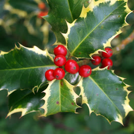 Garden holly 3 by Garry Chisholm - Nature Up Close Other plants ( garry chisholm, berry, red, holly, nature, leaf )