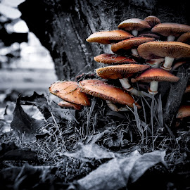 Mushrooms by Avelino Vieira - Nature Up Close Mushrooms & Fungi ( mushroom, arouca geopark, arouca, selective color, pwc )