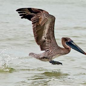 Brown Pelican in Flight by Rita Colantonio - Animals Birds ( bird, flight, fly, florida, ocean, pelican )