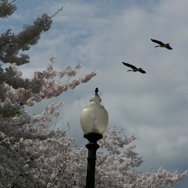 Geese with Cherry Blossoms by Daniel Bottoms - Nature Up Close Trees & Bushes ( washington dc, cherry blossom, geese, spring )