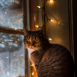 Window Shopping by Karen Raymond Burke - Animals - Cats Portraits ( canon, lights, cat, tiger, window, christmas, yellow eyes, tabby, portrait )