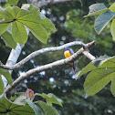 Violaceous Trogon (male)