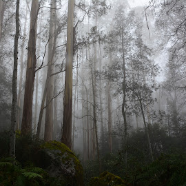 Enchanted by Mick Cook - Landscapes Forests ( foggy, moss, trees, forest, rocks )