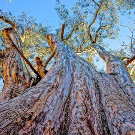 Enormous Eucalyptus by Barbara Brock - Nature Up Close Trees & Bushes ( huge tree, looking up a large tree, tree bark, eucalyptus,  )