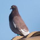 Feral Pigeon; Paloma Bravia