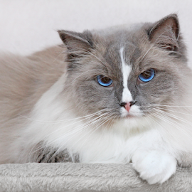 The emperor by Mia Ikonen - Animals - Cats Portraits ( ragdoll, finland, lovely, intense, serious )