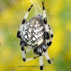 Shamrock Orb Weaver Spider