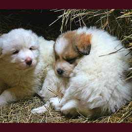 Brotherly Love by Renee Burmer - Animals - Dogs Puppies ( puppies, cute puppy, great pyrenees, sleeping dog, brothers )