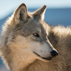Grey Wolf by Joe Neely - Animals Other Mammals ( grey wolf, woves, alpha male, wolf eyes, timber wolf, majestic wolf )