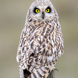 Short Eared Owl by Mike Thrower - Animals Birds