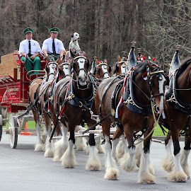 Budweiser Clydesdale's by Amara Dempsey - Animals Horses ( famous, animals, horses, working dog, horse, dalmation, transportation, working, animal,  )