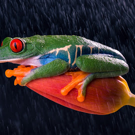 Let Me Stay in Rain by Kutub Macro-man - Animals Amphibians ( macro, frog, amphibians, flower, close-up, animal, red eye tre frog, Flowers, Flower Arrangements )