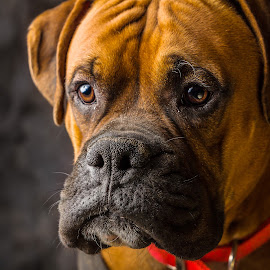 Booger by Chris Burns - Animals - Dogs Portraits ( pet, pup, boxer dog, dog, animal,  )