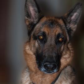 Mr jazz by A.L. Kelley - Animals - Dogs Portraits ( love, playing, play, puppy, german shepherd, dog, portrait,  )