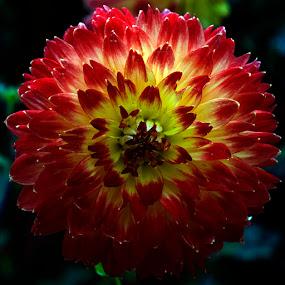 Dahlia by Lolotan Dalimunthe - Flowers Single Flower ( red, bloom, flower dome, dahlia, lolotan )