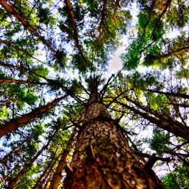 What's Up Pine? by Sean Price - Nature Up Close Trees & Bushes ( hdr, tree, perspective, forest, pine )