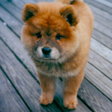 Dog Puzzle: Chow Chow