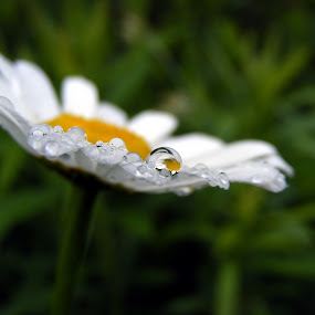Daisy by Sondra Sarra - Nature Up Close Flowers ( water, droplet, petals, green, white, magnify, daisy, yellow, rain )