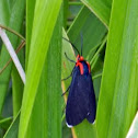 Red Shouldered Ctenucha