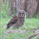 Barred Owl Juvenile